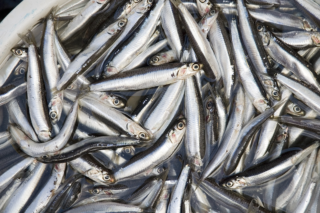Anchovies, the source of omega-7